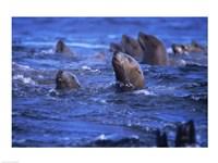 Steller Sea Lions Fine-Art Print