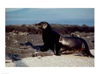 Galapagos Sea Lion Galapagos Islands Ecuador Fine-Art Print