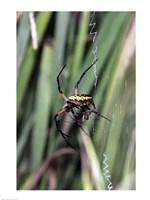 Close-up of an Argiope Spider Fine-Art Print