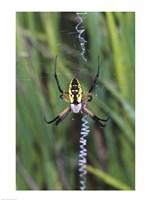 Close-up of a Garden Spider Fine-Art Print