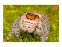 Regal Jumping spider in a field, Florida, USA Fine-Art Print