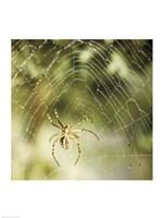 Garden Spider Fine-Art Print
