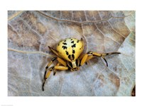 Crab Spider Fine-Art Print