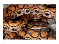 Close-up of a Brazilian Rainbow Boa curled up (Epicrates cenchria cenchria) Fine-Art Print