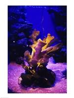 Giant Finger Coral Maui Ocean Center Maui, Hawaii, USA Fine-Art Print