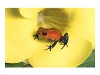 Strawberry Poison Dart Frog Fine-Art Print