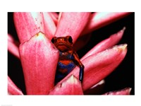 Close-up of a Strawberry Poison Dart frog Fine-Art Print