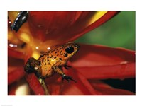Strawberry Poison Frog - red flower Fine-Art Print
