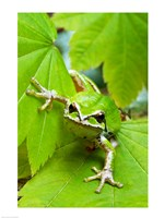 Close-up of a Green Tree Frog on a leaf Fine-Art Print
