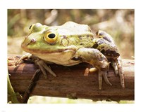 Frog on Bough Fine-Art Print