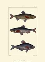 Freshwater Fish III Fine-Art Print