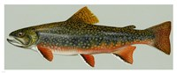 Brook trout Fine-Art Print