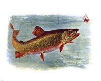 Brook Trout American Fishes Fine-Art Print