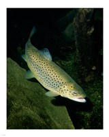 Brown Trout Underwater Fine-Art Print
