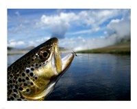 Brown Trout and Soft Hackle Nymph Fine-Art Print