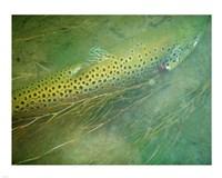 Madison River Brown Trout Fine-Art Print