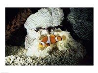 A Clown Fish and an Anemone Fine-Art Print