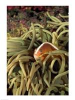 Orange Fin Anenomefish hiding in sea anemones underwater Fine-Art Print