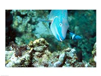 Close-up of a Stoplight Parrotfish swimming underwater Fine-Art Print