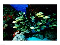 School of Blue Striped Grunts swimming underwater, Cozumel, Mexico Fine-Art Print