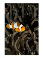 Percula Clownfish swimming near sea anemones underwater Fine-Art Print