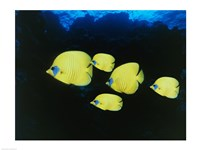 Close-up of five Lemon Butterflyfish swimming underwater Fine-Art Print