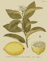 Antique Lemon Fine-Art Print