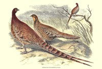 Pheasant Varieties VI Fine-Art Print