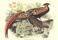 Pheasant Varieties VIII Fine-Art Print