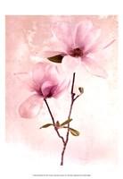 Tulip Blush II Fine-Art Print