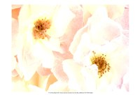 Rose Blush Fine-Art Print