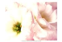 Lily Blush Fine-Art Print