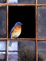 Bluebird Window Fine-Art Print
