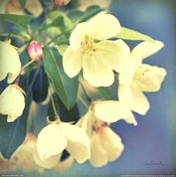 Natures Apple Blossom Fine-Art Print