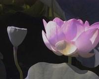 Blushing Lotus III Fine-Art Print
