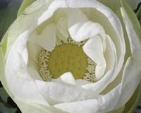 Delicate Lotus I Fine-Art Print