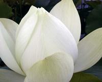 Delicate Lotus IV Fine-Art Print