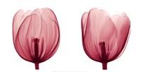 Tulips [Positive] Fine-Art Print