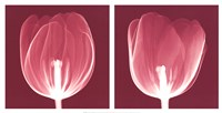 Tulips [Negative] Fine-Art Print