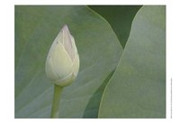Lotus Detail VII Fine-Art Print