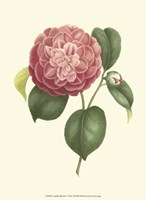 Camellia Blooms I Fine-Art Print