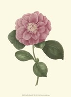 Camellia Blooms III Fine-Art Print