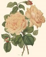 Vintage Roses III Fine-Art Print