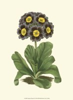 Antique Primula I Fine-Art Print