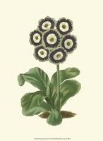 Antique Primula II Fine-Art Print