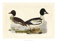 Duck I Fine-Art Print