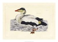 Duck III Fine-Art Print