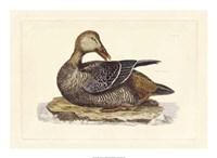 Duck IV Fine-Art Print