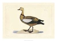 Duck V Fine-Art Print