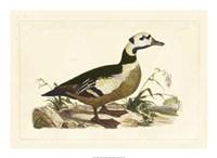 Duck VI Fine-Art Print